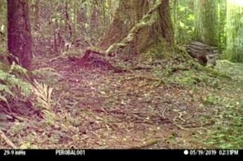 Tapir cria en la Reserva San Jorge