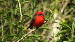 Aves Argentinas Churrinche