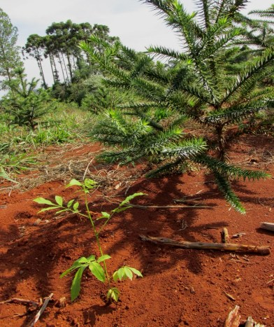 PlantacionesMixtas1(1)