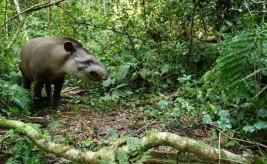 Tapir4