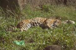 Ygauarete en el Centro el Puma