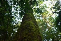 SelvaParanaense