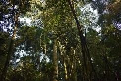 lapacho(bosque5)
