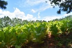 Cultivos de Tabaco1