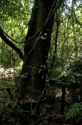 5 ANP-Arbol-Selva-Misionera-Cancharana