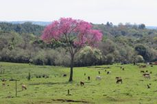 Foto Jorge Pujato Lapacho Ruta 2 (Santa Maria, Misiones)