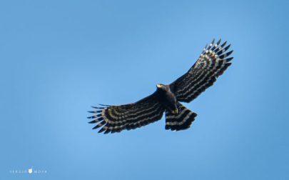 Aves-Aguila-Crestuda-730x456