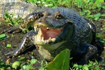 Biodiversidad Yacare Overo