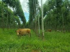 Paraguay Forestal Silvis2