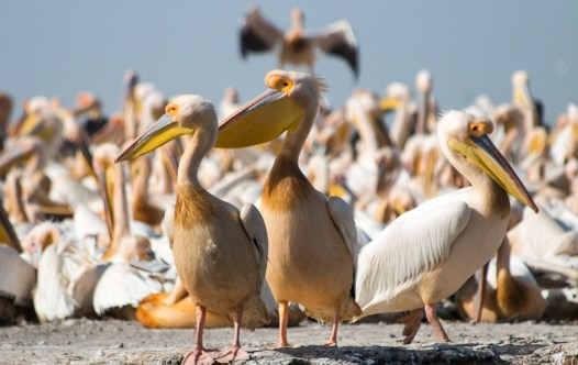 Aves pelicano 1