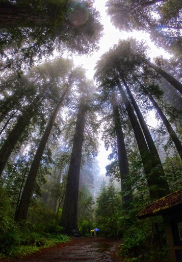 Secuoyas en Redwood National Park1