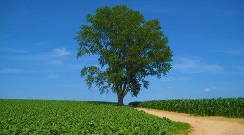 シアバター シアの木
