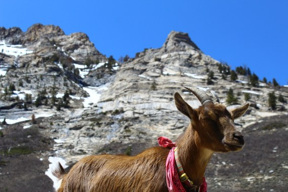 Adventure goat