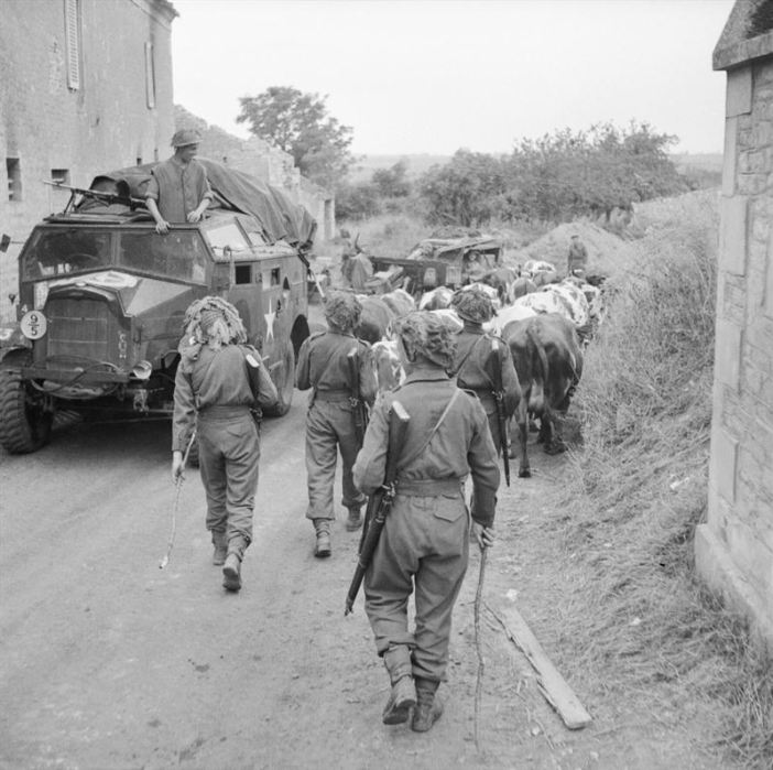 British troops herd cattle past a Morris 'Quad' artillery tractor and 25pdr field gun, Normandy, 8 July 1944.