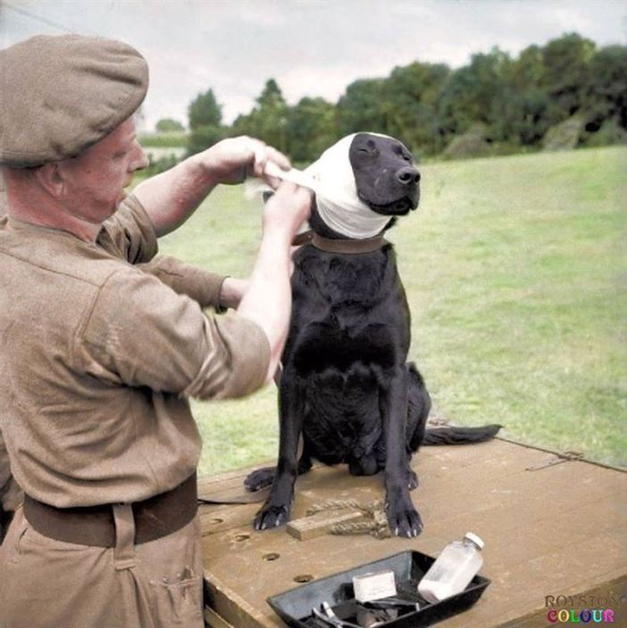 A Sergeant of the Royal Army Veterinary Corps bandages the wounded ear of a mine-detection Labrador dog named 'Jasper' at Bayeux in Normandy, 5th of July 1944.