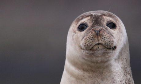 Common Seal Loch Fyne Argyll