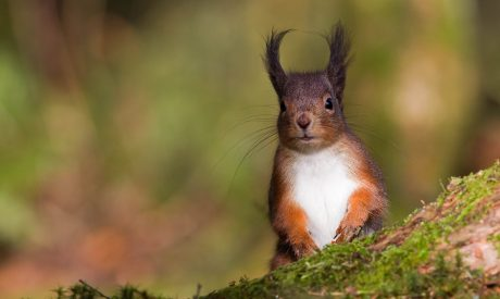 Red Squirrel   Argyll Cruising   Wildlife Cruise   Scotland