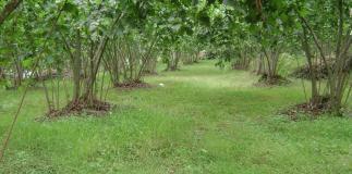 Araplar Yatırım Amaçlı Fındık Bahçesi Satın Alıyor