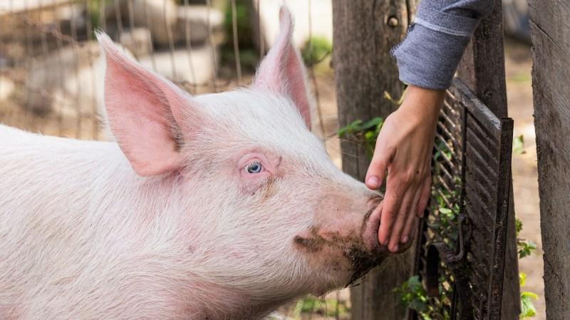 Photo de Newman le cochon