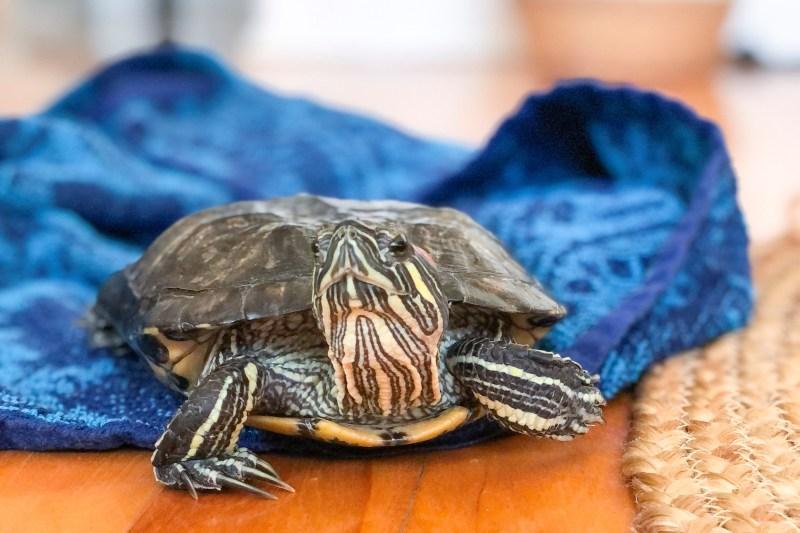 Benny (tortue) sur le plancher