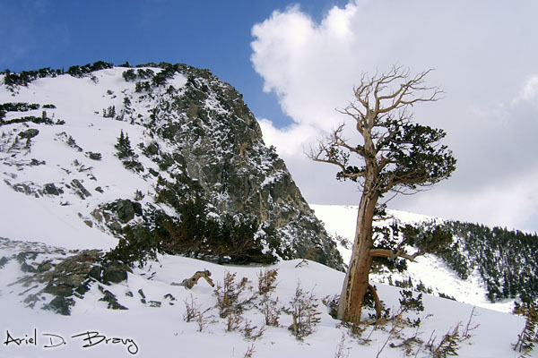 Mountains and a bristlecone pine as we make some yellow snow