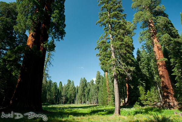 Meadow surrounded by sequoias
