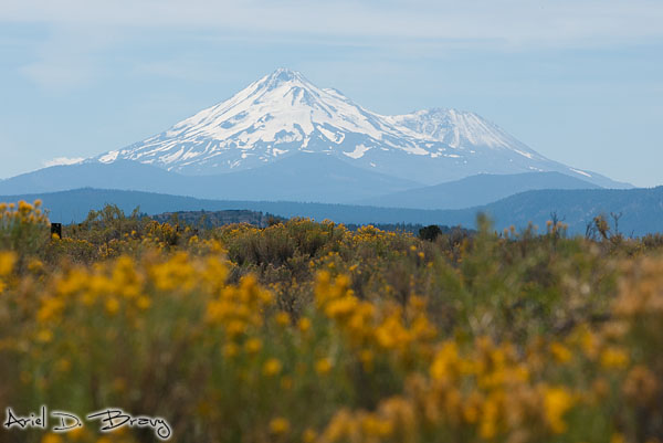 Wildflowers and Shasta