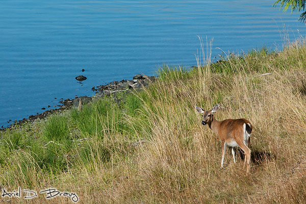 A deer enjoying the lakeshore