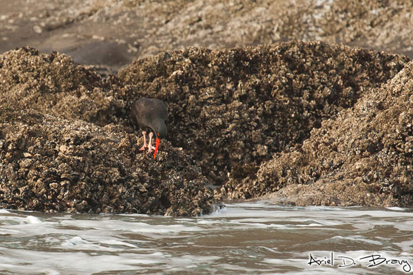 A black oystercatcher looking for food during low tide