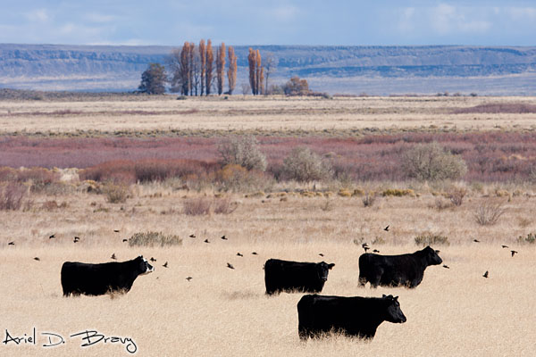 Cows and birds in the fields