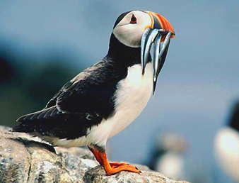 Puffin, from seabird.org