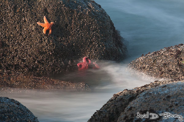 Starfish cling onto the sides of boulders as the ocean waves continue to bathe them
