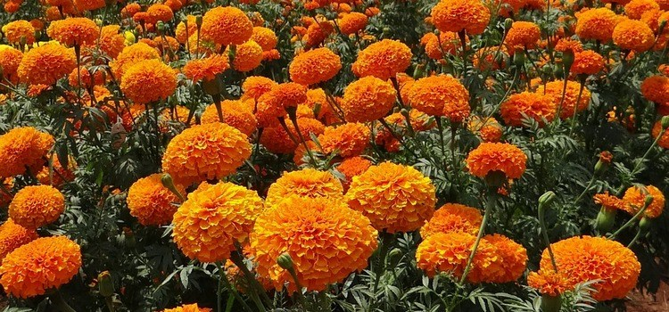 Super Simple Marigold Flower Decoration Ideas For Your Home
