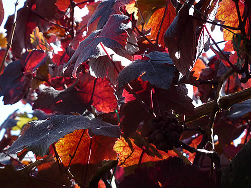 Autumn vine leaves and grapes