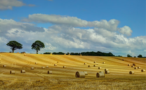 Wheat Field, Shropshire