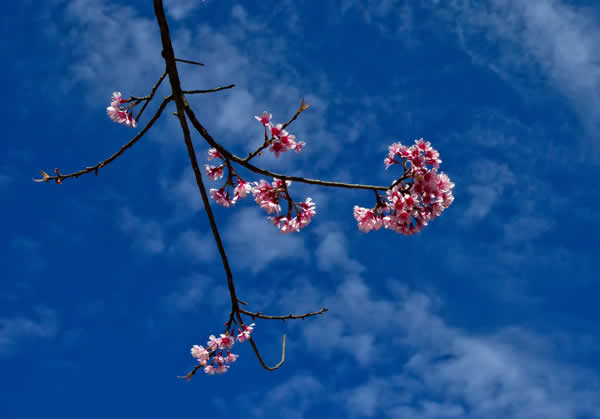 Doi Inthanon -  Cherry blossom In January - its already Spring up here