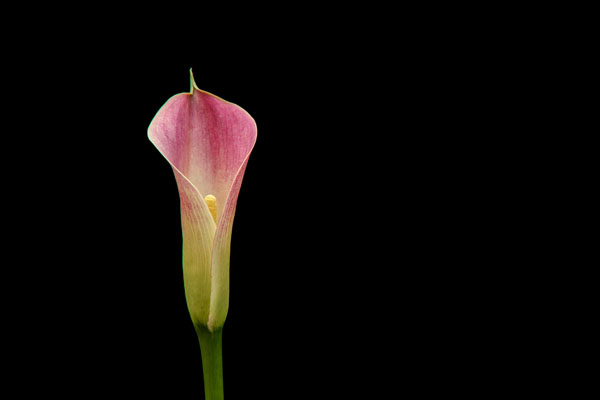 On black - Cala Lily