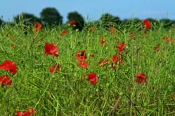 Nottinghamshire - poppy fields