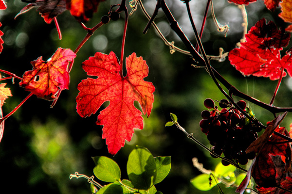 Autumn Colours - Grape Vine