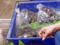 Thai Market - bags of frogs, live ones