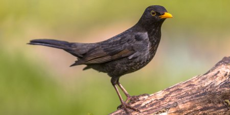 Blackbird Facts, Identification & Habitat | Ark Wildlife UK