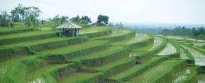 Cycling Bali Nature Adventure Rice Terrace