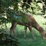 Menjangan Deer