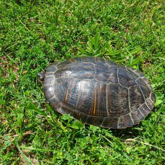 A turtle sitting in the grass with its head poking out of its shell slightly
