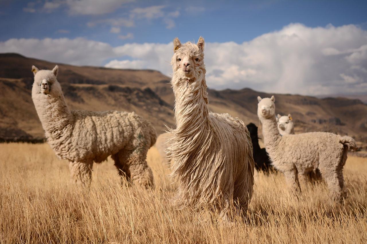 Historia Alpaca Armatta