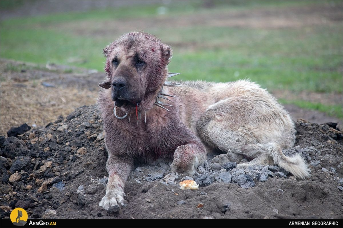 Risks and dangers in Armenian mountains / Wolfhounds
