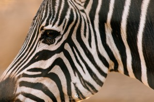 Zebra at the San Diego Zoo