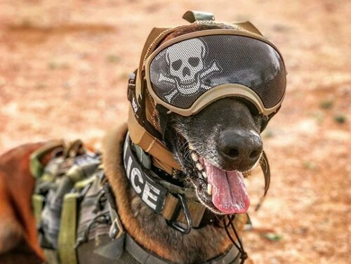 The Canine Auditory Protection System, or CAPS, is designed to better fit to a dog's head and seal off damaging sounds. (Army)