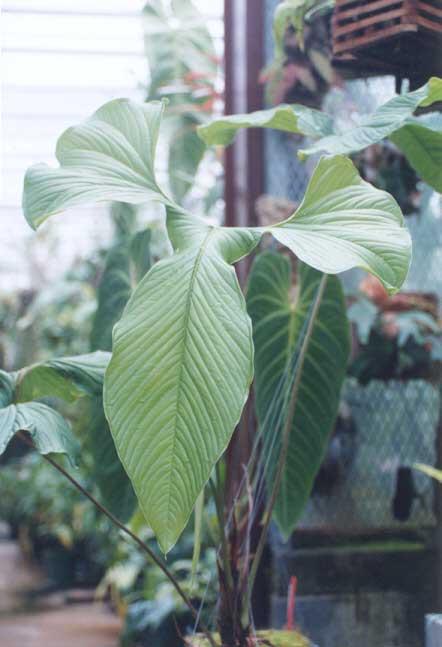 Anthurium Draconopterum
