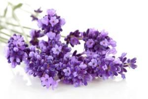 Lavendel fein ätherische Öle gegen Ängste bei Kindern